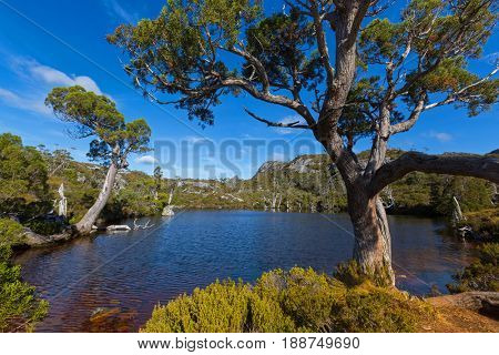 At at Wombat Pool with ancient Pencil Pine trees growing on lake bank, ripples on water surface, part of Cradle mountain at Lake St Clair National Park. Autumn in Tasmania, Australia