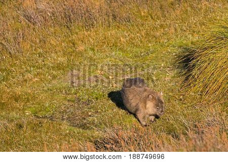 Brown Common Wombat grazing grass for dinner after leaving poo, feces behind its back at Cradle mountain, Lake St Clair National Park. Autumn in Tasmania, Australia