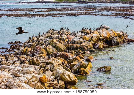 Big boulders and seaweed on the coast of Atlantic. Boulders Penguin Colony in the Table Mountain National Park, South Africa. The concept of  ecotourism. African black-white penguins