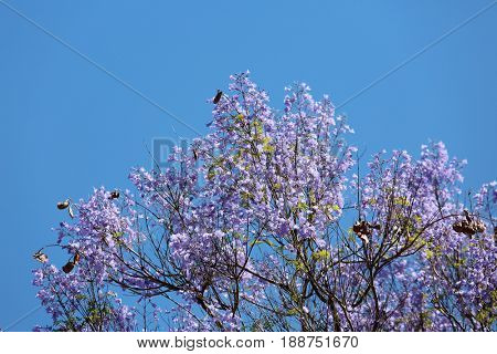 Jacaranda tree in full bloom displaying lavender flowers against a blue sky.