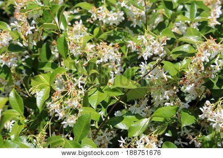 star jasmine flowers.