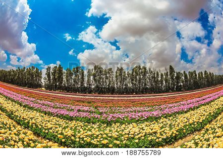 Spring in Israel. Magnificent flowering garden buttercups. The concept of modern agriculture and industrial floriculture. Photo taken fisheye lens