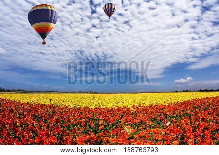 Two huge multi-color balloons slowly flies in clouds. The  blossoming fields of red and yellow garden buttercups. Concept of rural and extreme tourism
