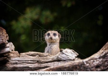 Funny meerkat emerging from his burrow and looking startled. Space for your text.