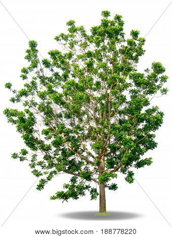 Tree leaves isolated on a white background