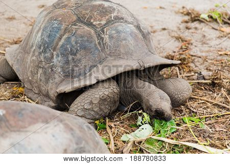 animals, fauna and nature concept - giant tortoises outdoors on seychelles