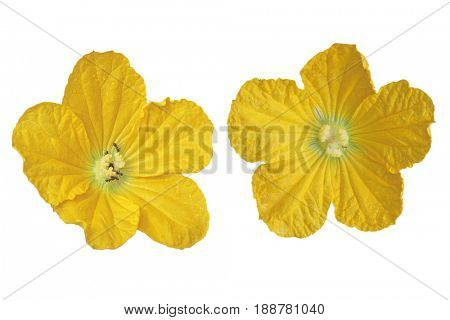 Set of two Wax Gourd Squash flowers isolated on white background