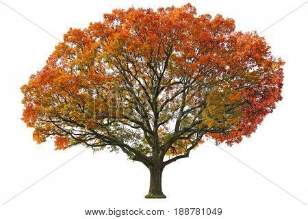 Giant oak tree in the Autumn isolated on white background