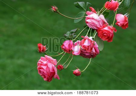 Bundle of rose flowers over green background