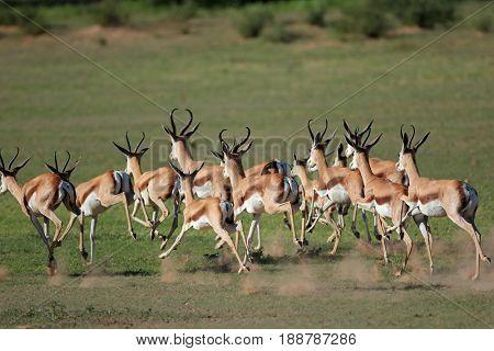 A herd of springbok antelopes (Antidorcas marsupialis) running, Kgalagadi, South Africa