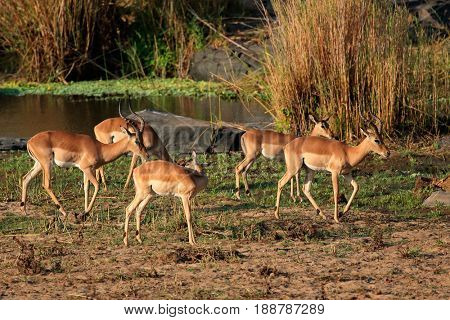 A small herd of impala antelopes (Aepyceros melampus), Kruger National Park, South Africa