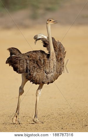 Female ostrich (Struthio camelus) in natural habitat, Kalahari desert, South Africa