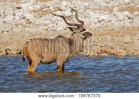 Male kudu antelopes (Tragelaphus strepsiceros) at a waterhole, Etosha National Park, Namibia