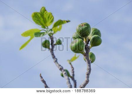 Unripe fig tree fruit