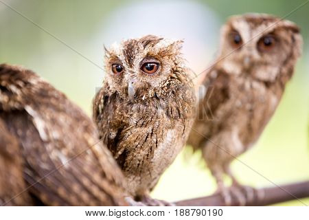 group of beautiful small screech owl