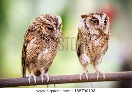 Couple of small owls sitting on branch