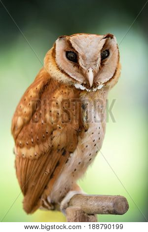 Beautiful  owl, small bird predator , western screech owl