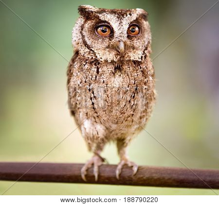 small screech owl (Megascops kennicottii)