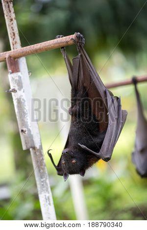 Bat hanging on a tree branch, wildlife in Bali