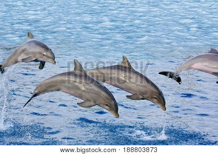 Dolphins playing and  swimming in the sea