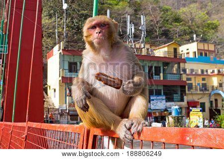Monkey eating an ice cream on the bridge in Laxman Jhula in India Asia