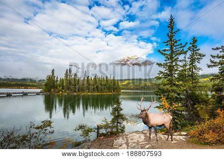The concept of eco-tourism. The big red deer with branchy horns is grazed on bank of the lake. Indian summer in the Rocky Mountains of Canada