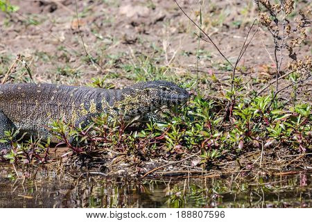 The beautiful iguana quickly moves on the river bank. Botswana, Chobe National park on the river Zambezi