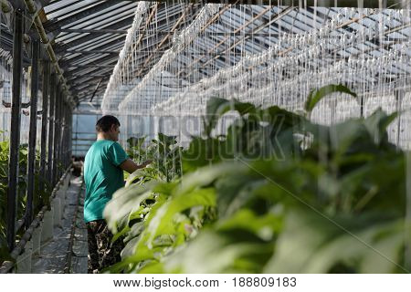ST. PETERSBURG, RUSSIA - MARCH 31, 2017: Worker in the greenhouse of agricultural company Vyborzhets. The company supplies fresh vegetables to the city all year round