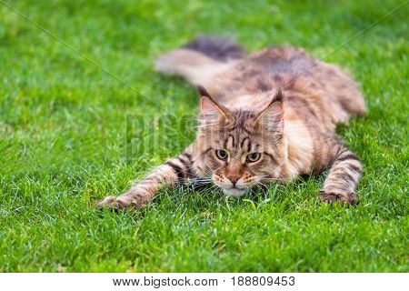 Black tabby Maine Coon cat lying in grass waiting for prey. Adorable young male cat in backyard. Pets walking outdoor adventure in park.