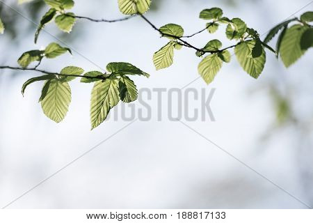 Spring background for design. Fresh green leaves on a branch of a hornbeam tree. Sunny day in the forest