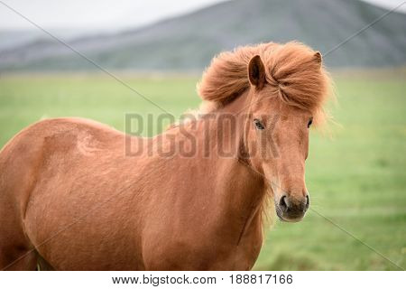 Red horse with a beautiful mane in the pasture in Iceland. Portrait of an animal