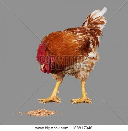 Brown rooster eat wheat seed, gray background, live chicken, one closeup farm animal