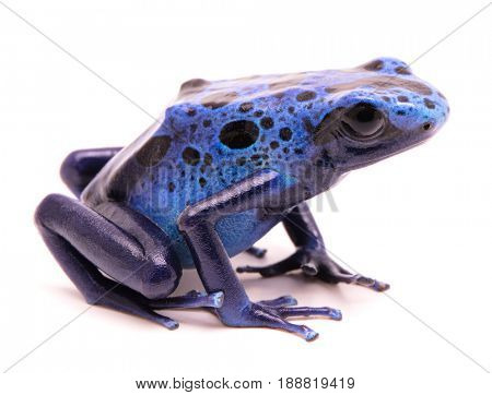 blue poison dart frog, Dendrobates azureus. A small poiosnous animal endangered by extinction and in need fro nature conservation. Isolated on white.