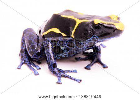 deying poison dart frog, Dendrobates tinctorius. A poisonous Amazon rain forest animal isolated on white.