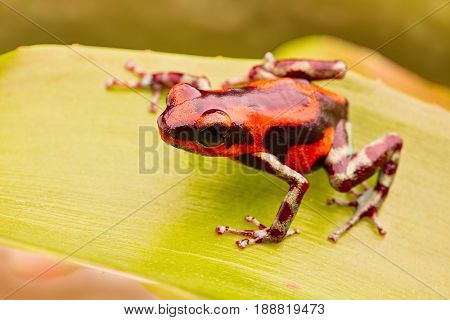 red strawberry poison arrow frog, Oophaga pumilio from Panama Rio Branco