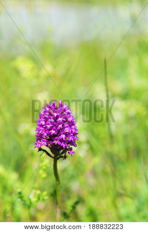Wild pink orchid in nature