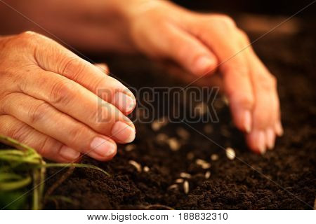 Hand of an elderly woman throwing seeds in the ground. Planting seeds in spring. Dirt with seeds. Future new life concept.