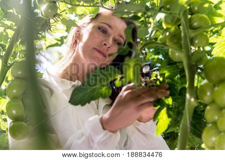 Botanist with a magnifying glass, inspecting the leafs of a tomato plant for lice for a herbology research project