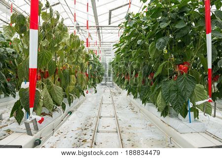 Red Bell Peppers Growing In Greenhouse