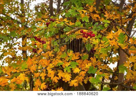 Leaves of Hawthorn plant turning yellow with red berries, also called Thornapple, May-tree, Whitethorn, Hawberry in Autumn in Tasmania, Australia