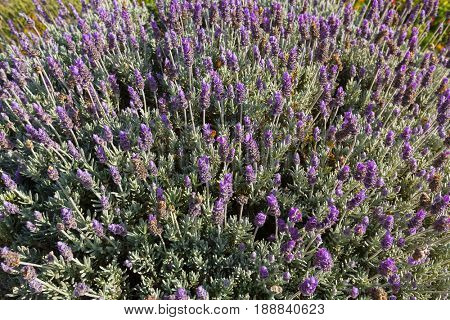 Lots of French Lavender flowers, also called Spanish lavender, topped lavender in blue purple blossoming in the garden in Tasmania, Australia (Lavandula stoechas)