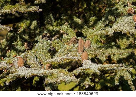 Big pine cones of Cedar Of Lebanon, evergreen conifer tree growing in Tasmania, Australia (Cedrus libani)