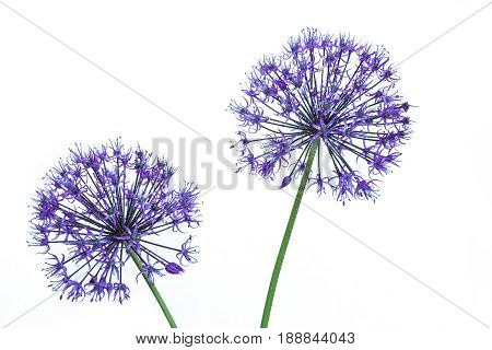 alium flowers looks like dandelion flowers with water drops on a white background. abstract nature background
