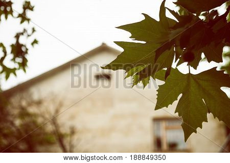 Branch of plane tree with green leaves and facade of cottage. Retro style photo