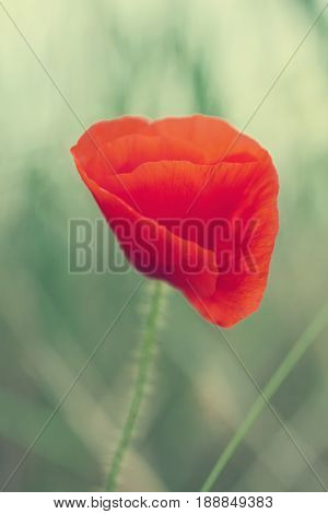 One Red Poppy Flower