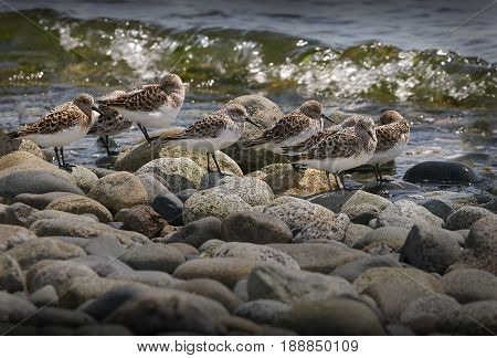 Sandpipers at the Shoreline. Sandpipers blending in with the rocks at the seashore in Point Roberts. Washington State. USA.