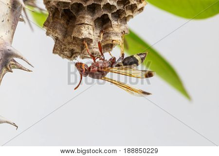 Hornet or wasp on the nest close up hanging on the Crown of thorns tree branch on white background.