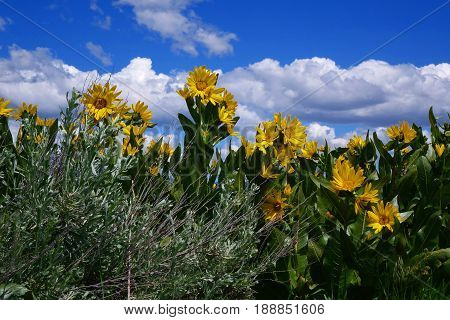Arrowleaf Balsamroot (Balsamorhiza), blooming during Spring in the sagebrush hills of Idaho.