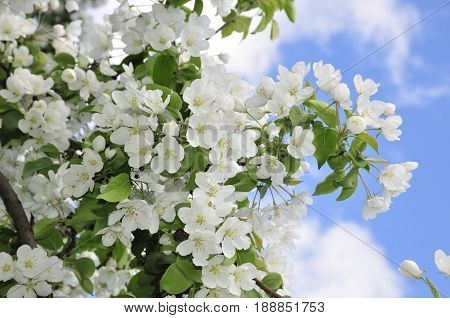 Flowering of apple trees in May. Apple tree is a genus of deciduous trees and shrubs of Rosaceae family.