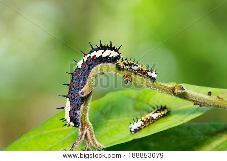 Common Mime (papilio Clytia) Caterpillars